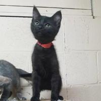 Adopt A Pet :: Charcoal - Russellville, KY