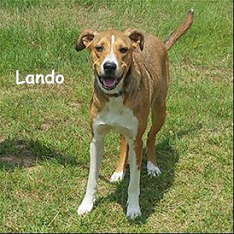Hound (Unknown Type) Dog for adoption in Shreveport, Louisiana - Lando