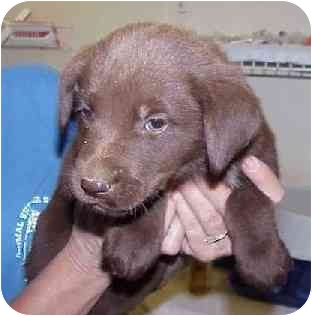 Labrador Retriever Mix Puppy for adoption in Avon, New York - Elma