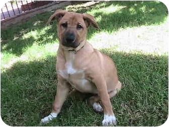 German Shepherd Dog/Labrador Retriever Mix Puppy for adoption in Poway, California - Lucy