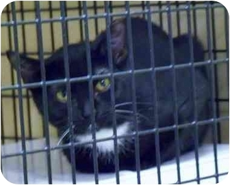Domestic Shorthair Cat for adoption in Rochester, New York - Vera