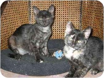 Domestic Shorthair Kitten for adoption in Davis, California - Lola