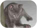 Hemingway/Polydactyl Kitten for adoption in Tampa, Florida - Nails
