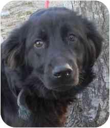 Flat-Coated Retriever Mix Dog for adoption in Kansas City, Missouri - Perry