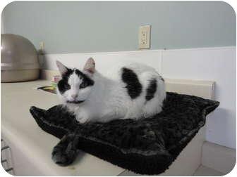 Domestic Mediumhair Cat for adoption in Kingston, Washington - Sassafrass