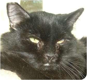 Domestic Mediumhair Cat for adoption in Las Vegas, Nevada - Godiva