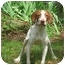 Photo 2 - Pointer/Hound (Unknown Type) Mix Dog for adoption in Allentown, Pennsylvania - Arya