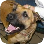 Boxer/Shepherd (Unknown Type) Mix Dog for adoption in Eatontown, New Jersey - Dawkins