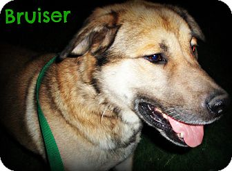 German Shepherd Dog/Labrador Retriever Mix Dog for adoption in Watertown, South Dakota - Bruiser