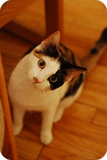 Domestic Shorthair Cat for adoption in Chicago, Illinois - Elphie