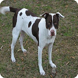 German Shorthaired Pointer/Hound (Unknown Type) Mix Dog for adoption in Orange Lake, Florida - Dixie