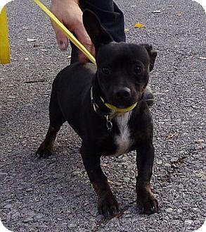 Boston Terrier/Dachshund Mix Dog for adoption in Scranton, Pennsylvania - Fenway Frankie (Very Urgent)