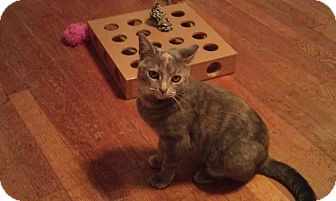 Domestic Shorthair Cat for adoption in Cleveland, Ohio - Olivia