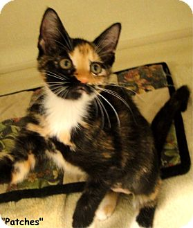 Calico Kitten for adoption in Key Largo, Florida - Patches