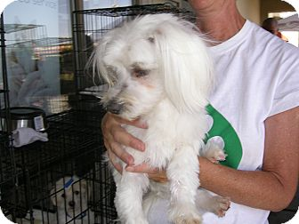 Maltese Mix Dog for adoption in Las Vegas, Nevada - Sammy