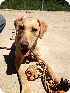 Labrador Retriever/Retriever (Unknown Type) Mix Dog for adoption in South Haven, Michigan - Stevie