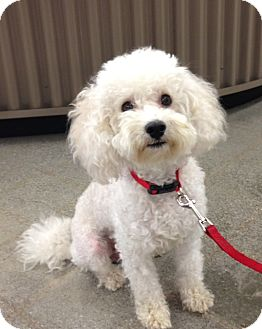 Miniature Poodle/Bichon Frise Mix Dog for adoption in Inglewood, California - CHUBBY