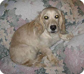 Cocker Spaniel/Dachshund Mix Puppy for adoption in Chandler, Arizona - C.C.