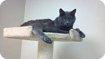 Russian Blue Cat for adoption in Pineville, North Carolina - Spock