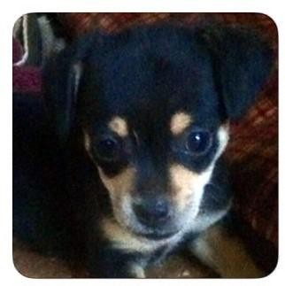 Chihuahua Mix Puppy for adoption in Danielsville, Georgia - Pup 1 black and tan male