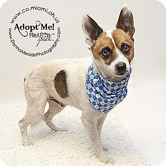 Terrier (Unknown Type, Small) Mix Dog for adoption in Troy, Ohio - Rio