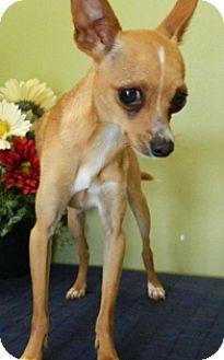 Chihuahua Mix Dog for adoption in Columbus, Nebraska - Poncho