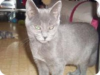 Russian Blue Cat for adoption in Medford, Wisconsin - AASHA