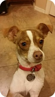 Fox Terrier (Toy)/Chihuahua Mix Dog for adoption in Goodyear, Arizona - Channel
