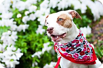 American Staffordshire Terrier/Beagle Mix Dog for adoption in Houston, Texas - Kyla