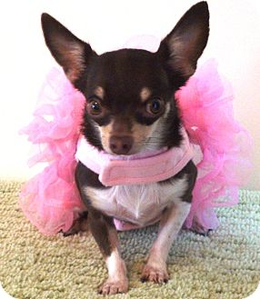 Chihuahua Dog for adoption in Osseo, Minnesota - Lilly