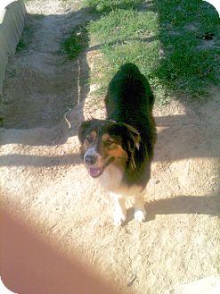 Australian Shepherd Dog for adoption in Baton Rouge, Louisiana - Gauge