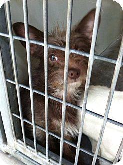 Yorkie, Yorkshire Terrier/Norfolk Terrier Mix Puppy for adoption in Portland, Oregon - Bibi