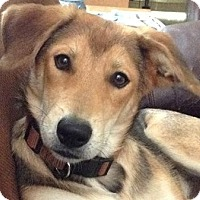 Adopt A Pet :: Puppy - Courtesy - Indianapolis, IN