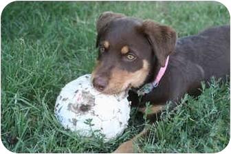 Australian Shepherd/German Shepherd Dog Mix Puppy for adoption in Concord, California - Cocoa