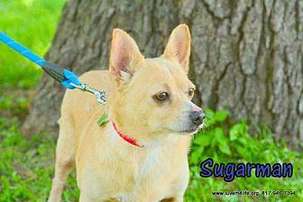 Corgi/Chihuahua Mix Dog for adoption in Rhome, Texas - Sugar Man