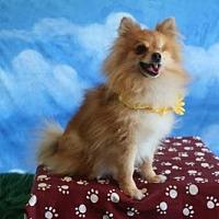 Pomeranian Dog for adoption in Dallas, Texas - Pompeii