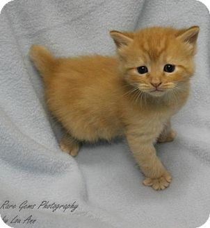 Domestic Shorthair Kitten for adoption in Flora, Illinois - Bitty baby #2  Cheeto