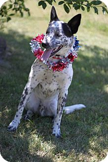 Blue Heeler/Australian Cattle Dog Mix Dog for adoption in South Haven, Michigan - Rebel