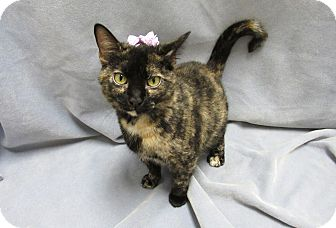 Domestic Shorthair Cat for adoption in Lexington, North Carolina - CRANBERRY