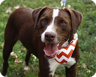 Pointer Dog for adoption in Mayflower, Arkansas - Clyde