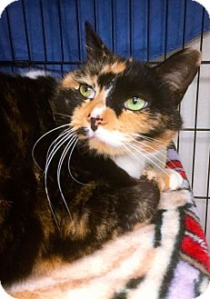 Calico Cat for adoption in Webster, Massachusetts - Kelsey