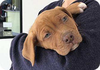 Vizsla/Pit Bull Terrier Mix Puppy for adoption in Agoura Hills, California - Mercury