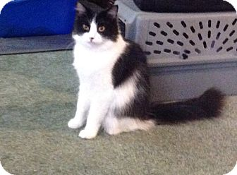 Domestic Mediumhair Kitten for adoption in Eureka, California - Renata
