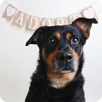 Mixed Breed (Medium)/Rottweiler Mix Dog for adoption in Wilmington, Delaware - Missy