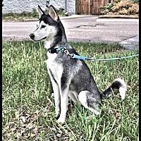Adopt A Pet :: Kirra- Adoption pending! - Monument, CO