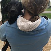 Adopt A Pet :: Charlie Brown - Puppy - Midlothian, VA