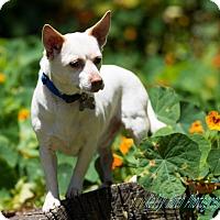 Shiba Inu/Chihuahua Mix Dog for adoption in San Francisco, California - Baxter