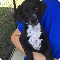 Labrador Retriever/Hound (Unknown Type) Mix Puppy for adoption in Berkeley Heights, New Jersey - Ace