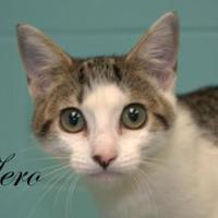 Domestic Shorthair/Domestic Shorthair Mix Cat for adoption in Middleburg, Florida - Zero