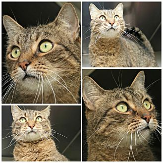Domestic Shorthair Cat for adoption in Forked River, New Jersey - Hank